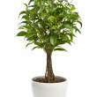 Ficus isolated...