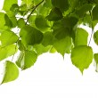Birch leaves isolated...