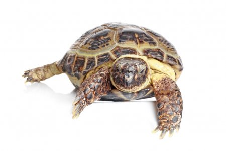 Tortoise in front of a white background