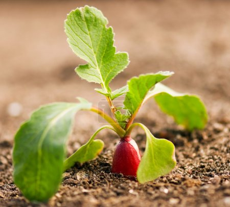 Photo for Red radish growing out of the soil - Royalty Free Image