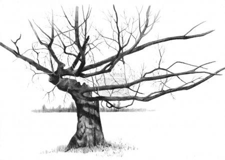 Photo pour Un crayon de dessin d'un arbre vieux, vieilli avec branches noueux. - image libre de droit