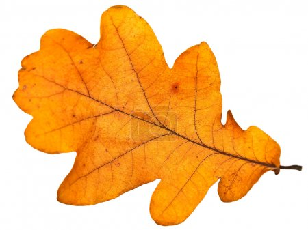Photo pour Feuille de chêne jaune d'automne sur fond blanc - image libre de droit