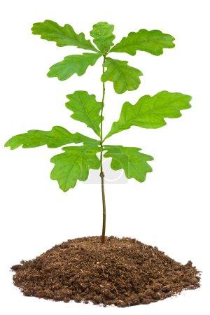 Photo pour Jeune anglais chêne (quercus robur). gros plan sur blanc. - image libre de droit