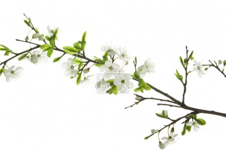 Photo for Apple-tree flowers. Design elements isolated on white. - Royalty Free Image