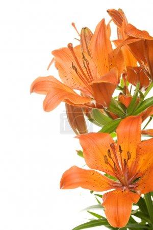 Photo pour Lys tigre orange isolé sur fond blanc - image libre de droit