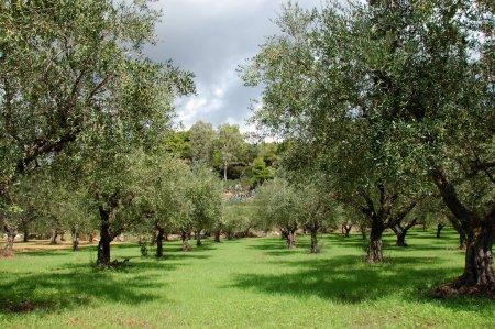 Photo pour Rangées d'oliviers dans le pays. - image libre de droit