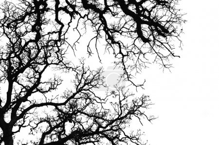 Photo pour Silhouette de branches de chêne. Noir et blanc . - image libre de droit
