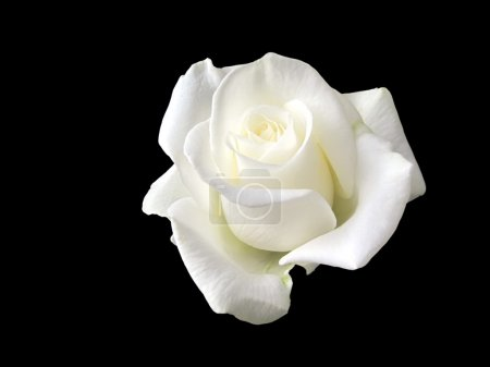 Close up white rose isolated on black background...