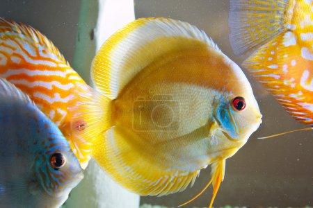 Colorful tropical Symphysodon discus fish...