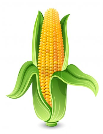 Illustration for Vector illustration - Corn ear isolated on white - Royalty Free Image