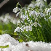 Snowdrop blooming in spring