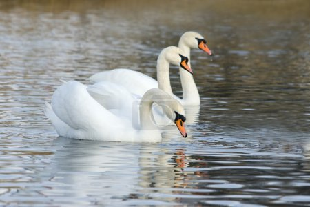 White swans floating