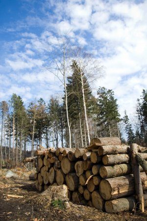 Wood logs in deforest forest