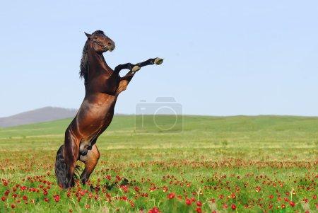 Photo pour Élevage de chevaux bruns sur pâturage - image libre de droit
