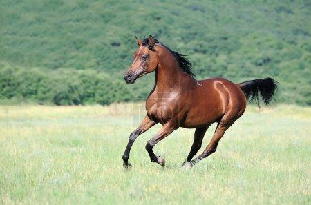Photo pour Beau cheval arabe brune, galop en cours d'exécution dans les pâturages - image libre de droit