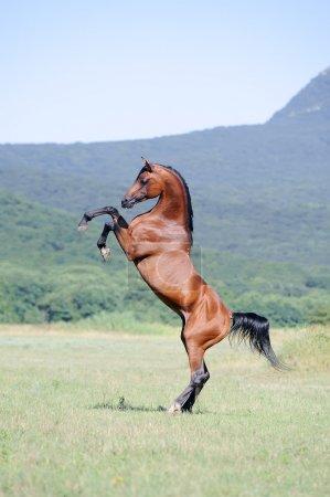 Photo pour Beau cheval arabe brun élevé sur pâturage - image libre de droit