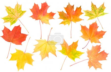 Photo for Autumn maple leaves set, isolated on white - Royalty Free Image