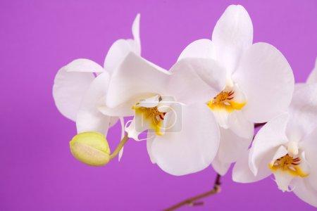 Photo pour Belle orchidée isolée sur fond violet - image libre de droit