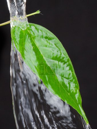 Photo for Beautiful green leaf over black background and splash water - Royalty Free Image