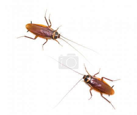 Two isolated cockroach
