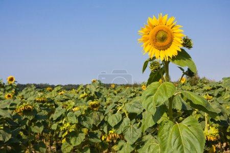 Photo pour Tournesol simple fleur sur champ de tournesols - image libre de droit