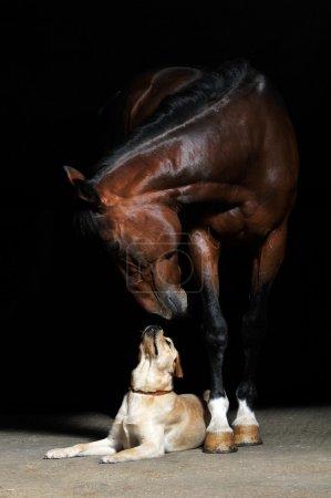 Photo pour Cheval et chien sur le fond noir - image libre de droit