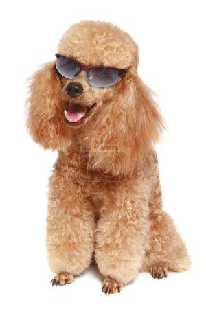 Apricot poodle (dog) in dark sunglasses