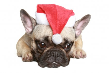 French bulldog puppy in christmas hat