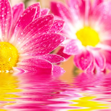 Closeup of two pink daisy-gerbera reflected in the water