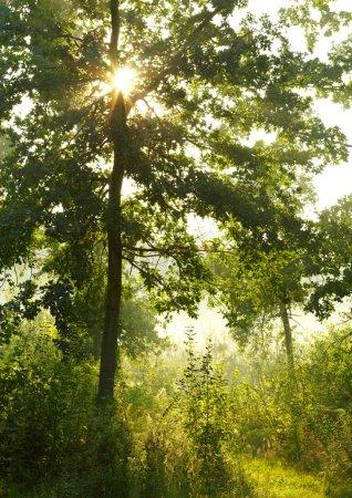 Photo pour Matin forêt d'été - image libre de droit