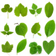 Collection of green leaves isolated on white...