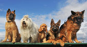 Five dogs
