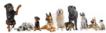 Photo for Cute rottweiler say hello with his paw to a group of dogs and cat - Royalty Free Image
