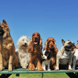 Group of puppies purebred dogs on a table...