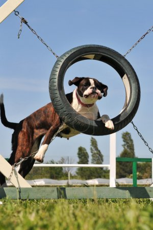 Boxer in agility