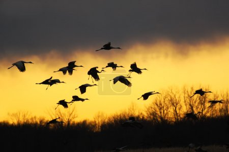 Migrating sandhill cranes (Grus canadensis) glide ...