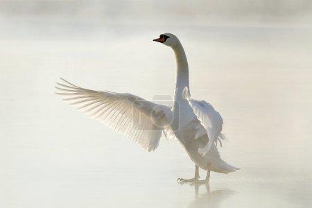 Photo pour Beau cygne debout sur le lac gelé et étirant ses ailes . - image libre de droit