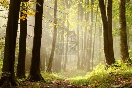 Photo pour Sentier automne brumeux, menant à travers la forêt au sommet de la montagne. - image libre de droit
