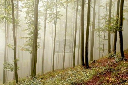 Photo pour Hêtraie forêt de hêtres sur le versant d'une montagne dans une réserve naturelle. Photo prise en octobre . - image libre de droit