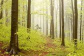Misty spring woods