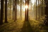 Sunrise through the trees in the forest