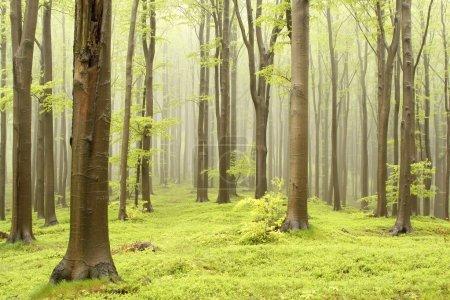 Photo pour Forêt de contes de fées printanières avec brouillard montagneux se déplaçant entre les hêtres . - image libre de droit