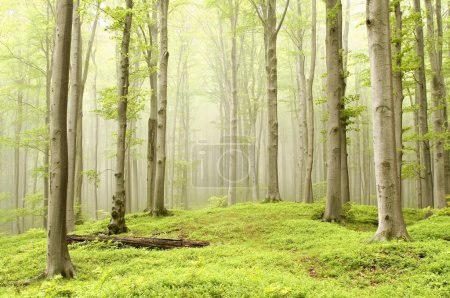 Photo pour Enchanted forest de printemps dans la brume se déplaçant entre les hêtres. photo prise en juin - image libre de droit