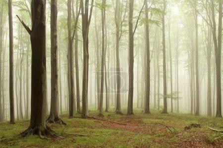 Photo pour Forêt enchantée dans la brume se déplaçant entre les hêtres. photo prise en août. - image libre de droit
