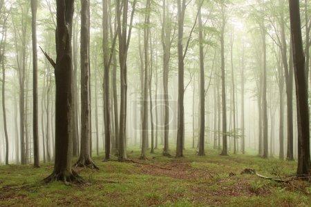 Photo pour Hêtres dans la forêt sur un versant de montagne un jour de pluie brumeuse. - image libre de droit
