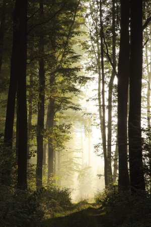 Misty forest at dawn