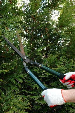 Photo pour Tailler les arbres - thuya sur ressort - image libre de droit