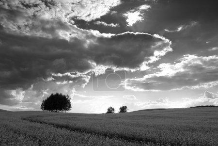 Photo pour Champ de sarrasin, la silhouette de l'arbre à l'horizon, les nuages rétro-éclairé. ARGB. - image libre de droit
