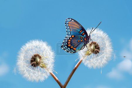 Photo for Butterfly on a dandelion - Royalty Free Image