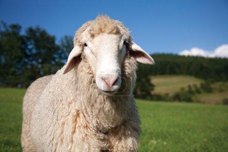 Photo pour Moutons en regardant la caméra - image libre de droit